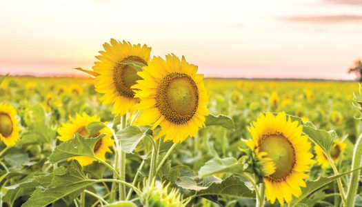 Everything You Need To Know About The Sunflower Trail & Festival of Gilliam