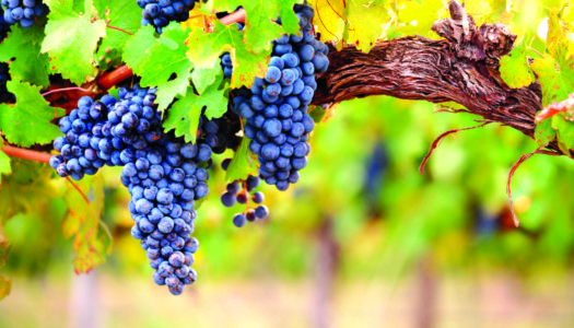 Sip On This: Cabernet, a Safety Net